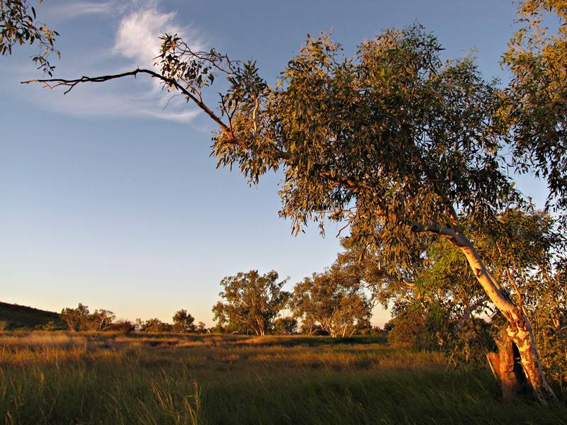 Taylor Creek Camping - Ghost Gum Trees