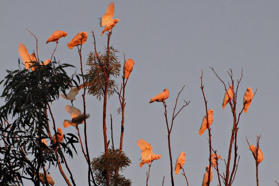 Glendambo white cockatoos parrots