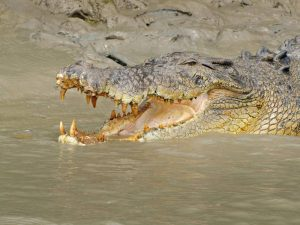 Adelaide River Saltwater Crocodile
