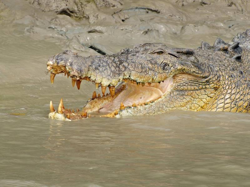 Adelaide River Saltwater Crocodile