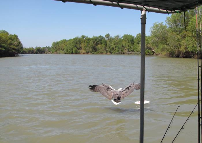 Adeliaide River - white-bellied eagle