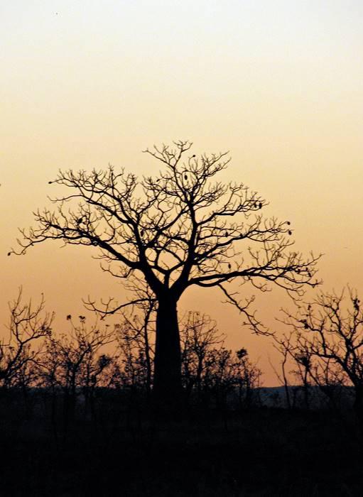 Wyndham - Baob Trees