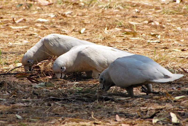 Parrots feeding of the ground