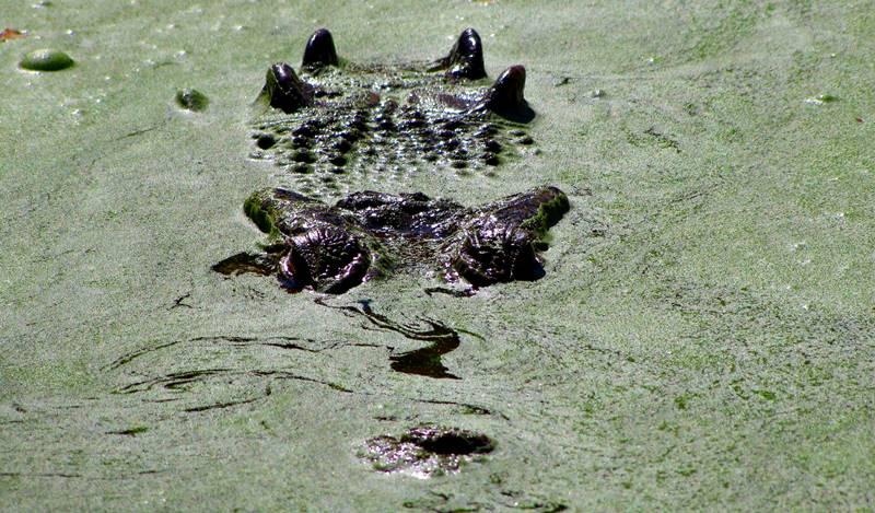 Saltwater crocodiles silently wait for their prey