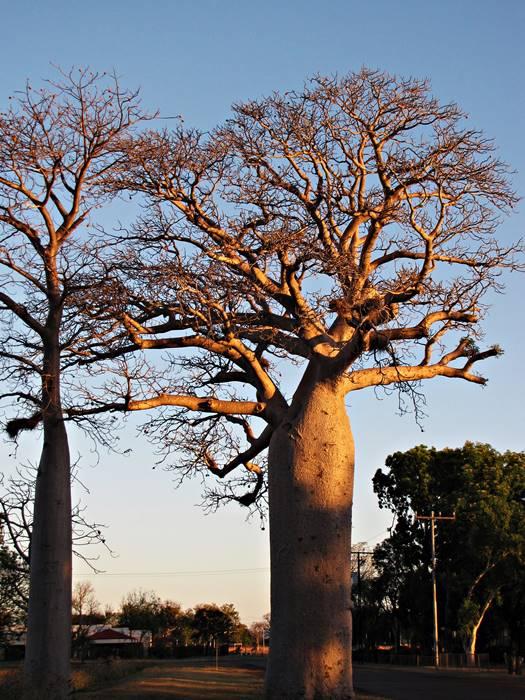 Kununurra - Baob Trees