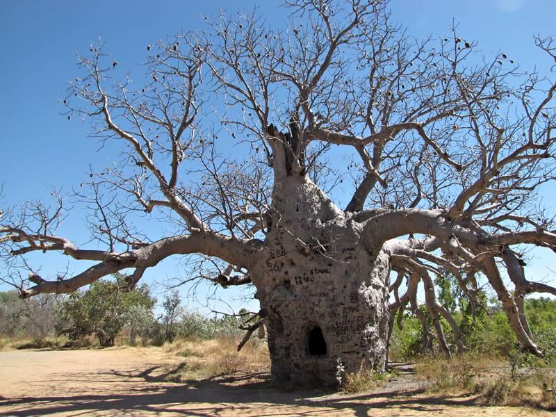 Wyndham - Big Prison Tree