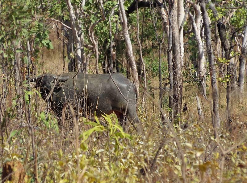 Australian Buffalo