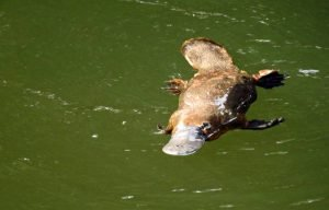 where to find platypus