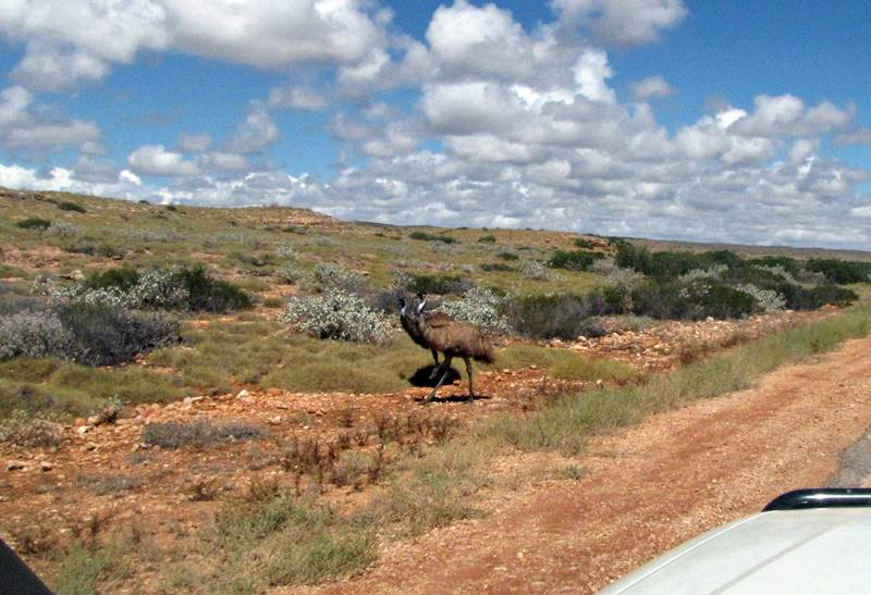 Careful - Emus crossing the road!