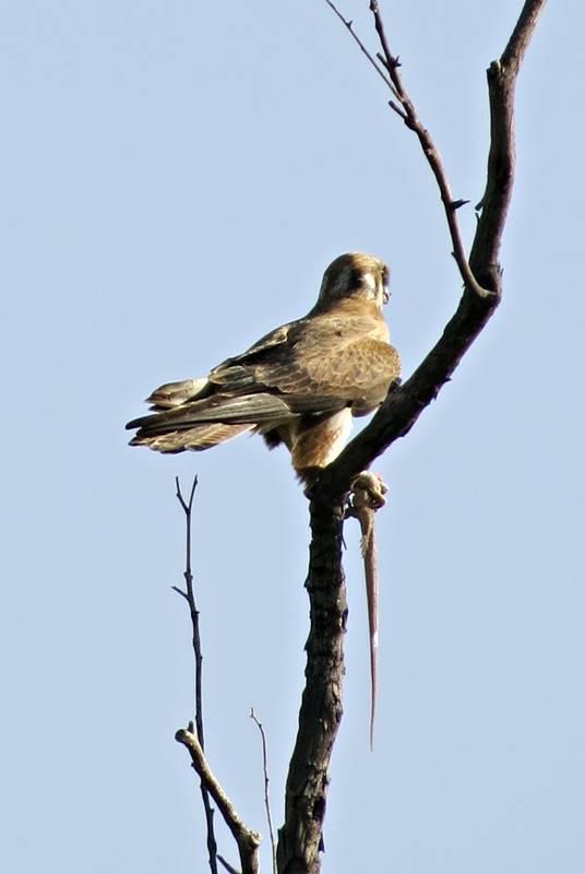 Hawk eating lizard on a tree