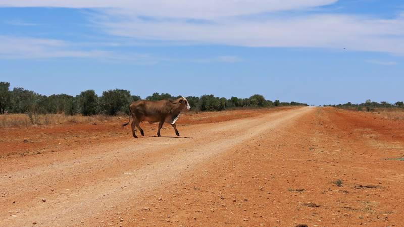 Cows on Plenty Highway