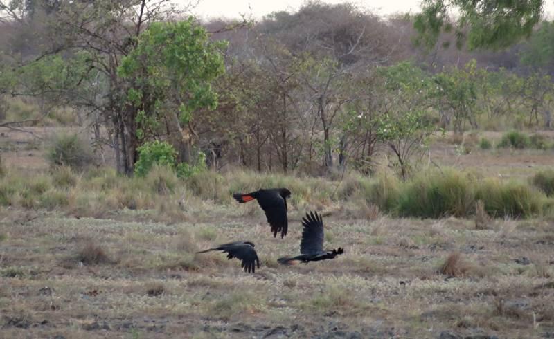 Black cokatoos in Karumba