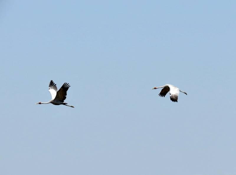 Flying Brolgas