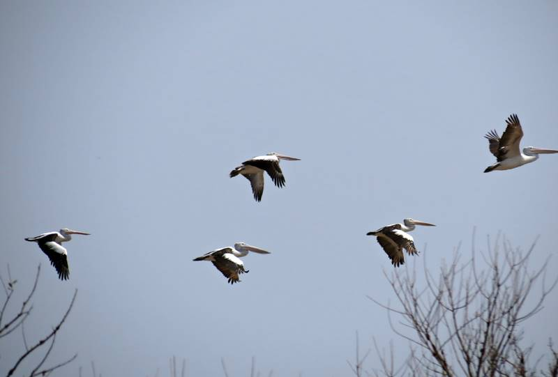 Brolgas flying away