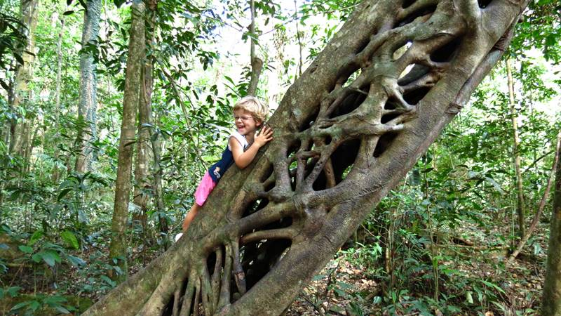 Cow Bay - Fig Tree
