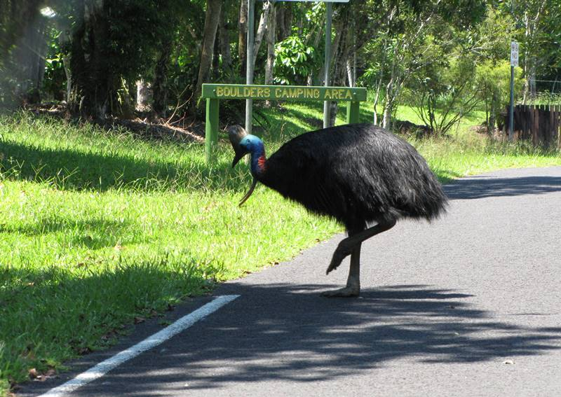 Cassowary crossing the road