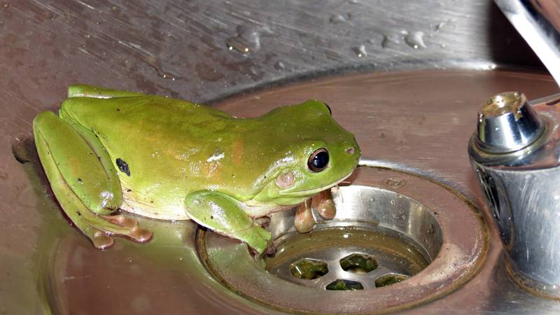 Green frogs sitting at the tap