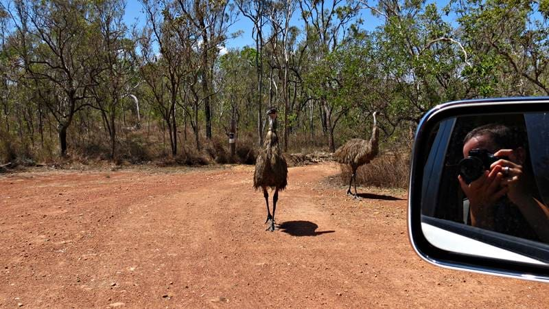Mareeba Wetlands - Guarding emus