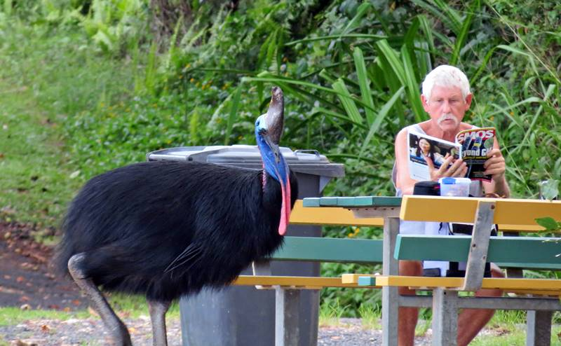 Inquisitive cassowary looking to steal something from the man