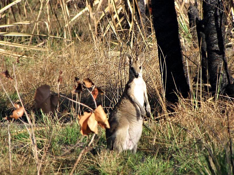 Wallaroos are smaller than a kangaroos but bigger than a wallabies