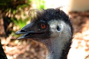 Emu from Rockhampton Zoo