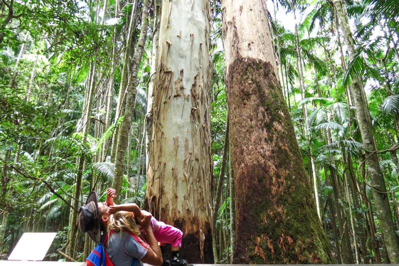 Watching big trees at the Mary Cairncross Scenic Reserve