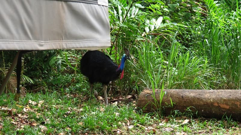 Southern cassowary entering our campsite