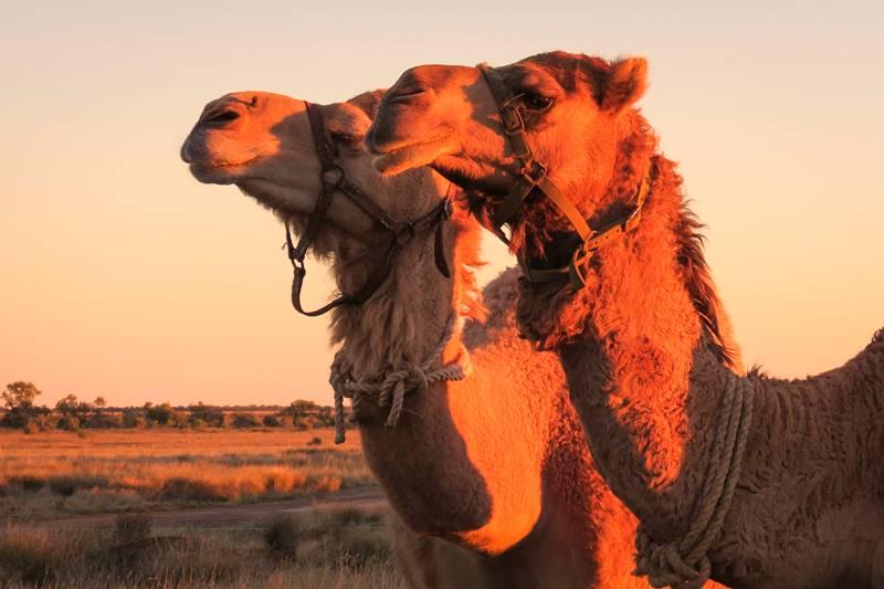 Brisbane to Birdsville - Camels at Windorah