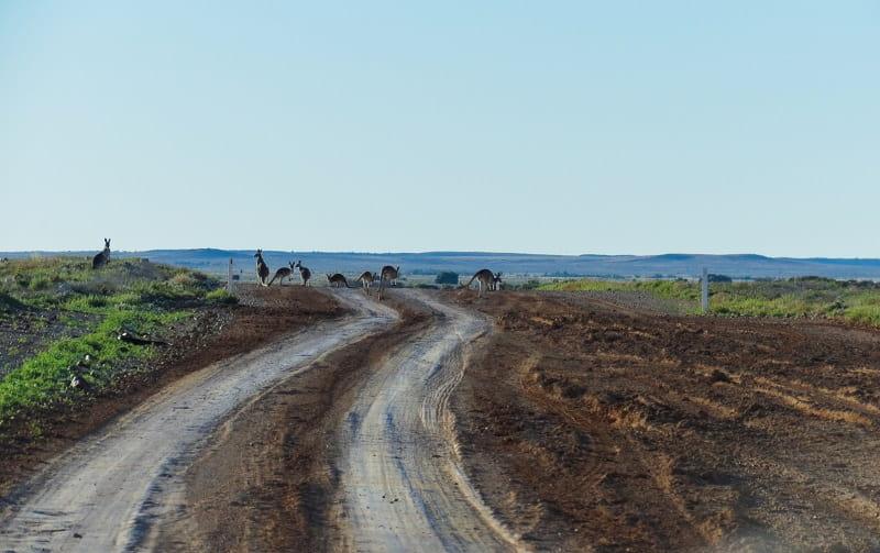 Kangaroos on the road to Windorah